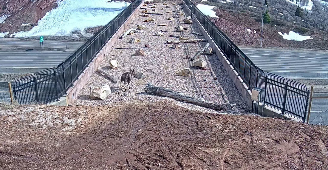 Video Of Animals Crossing Utah Highway Using 'Wildlife Overpass'