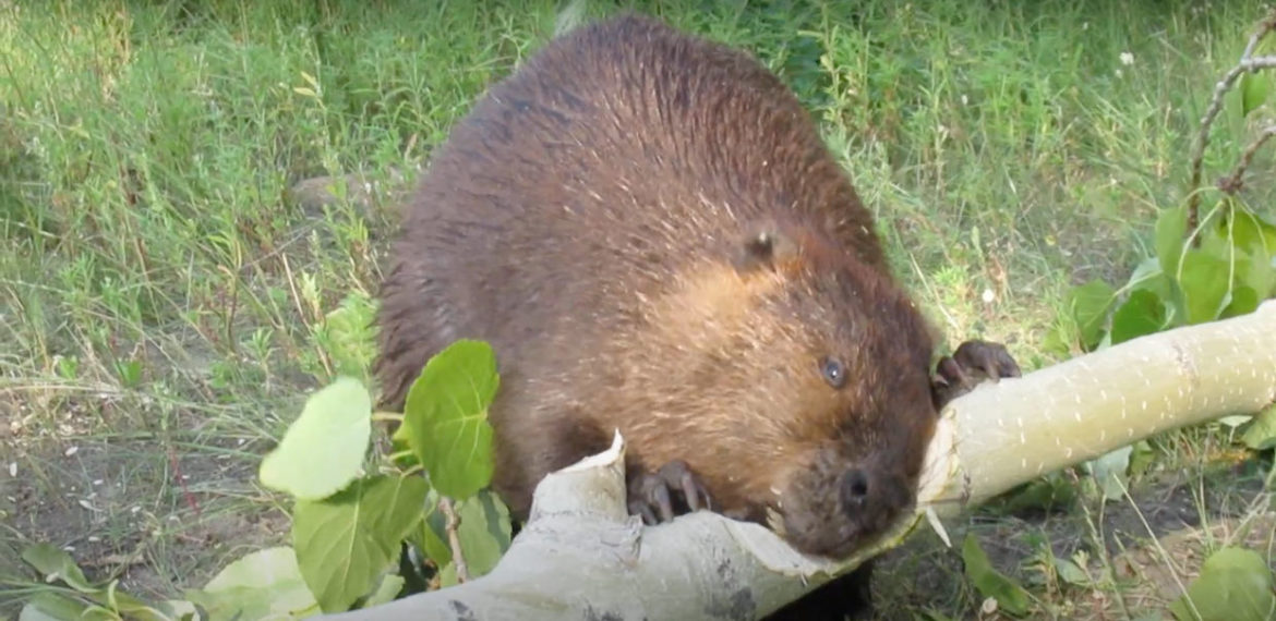 Beaver Chews Through Thick Poplar Limb In 45 Seconds