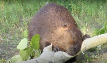 Beaver Chews Through Thick Poplar Limb In 45 Seconds