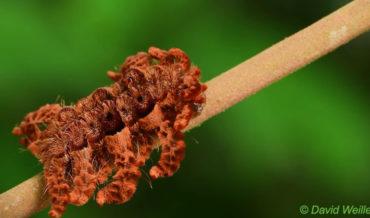 Oh, Mother Nature: Monkey Slug Caterpillar Mimics A Tarantula For Protection