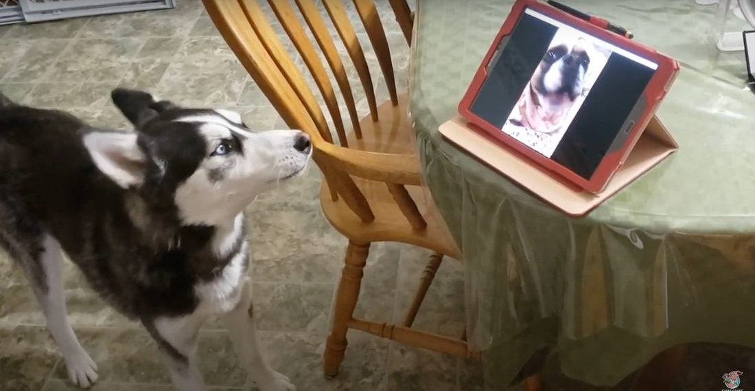 Awww: Husky Chats With His Best Friend During Video Call