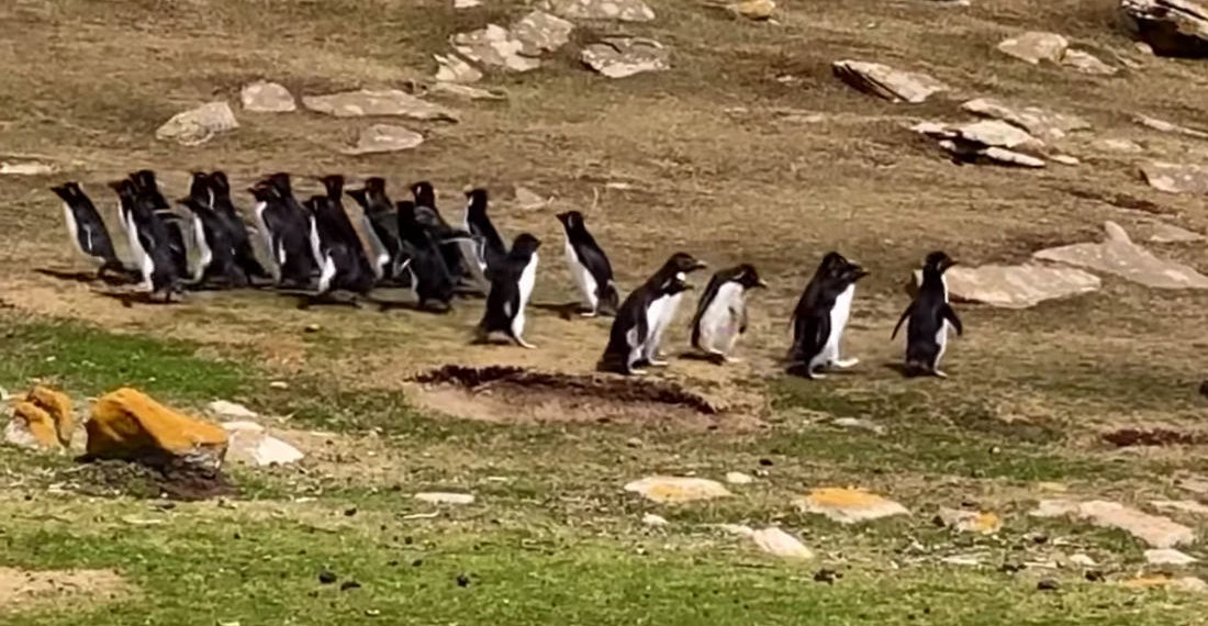Two Groups Of Penguins Meet, One Accidentally Leaves With The Wrong Crew