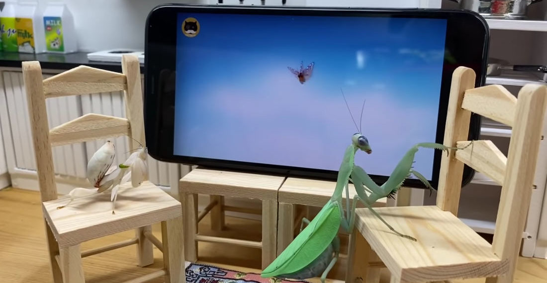 Praying Mantises In Miniature Living Room Watching TV