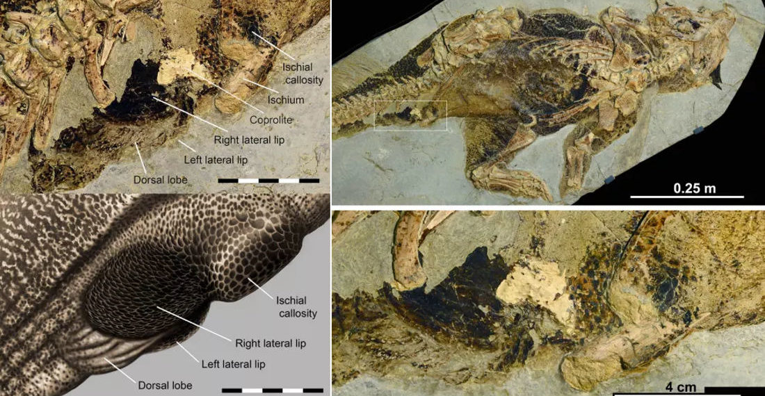 Paleontologist: First Known Preserved Dinosaur Butt Region Is 'Perfect', 'Unique'