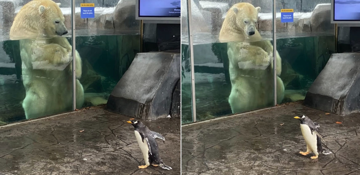 Awww: St. Louis Zoo Penguins Take A Snowy Field Trip To Visit Nearby Bear Exhibits
