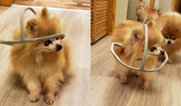 Awww: Guy 3-D Prints Head Safety Hoop To Prevent Blind Dog From Running Into Things
