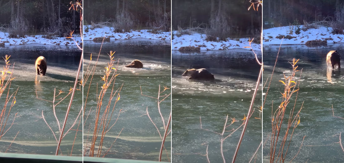 Bear Falls Through Thin Ice Of Frozen Lake, Pulls Itself Out