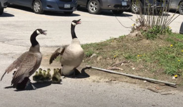Canadian Geese Parents Protect Goslings From Hawk