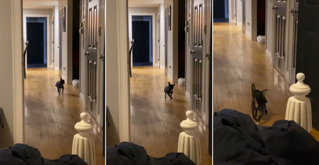Awww: One-Eyed Special Needs Rescue Chihuahua's Incredible Dance-Walk