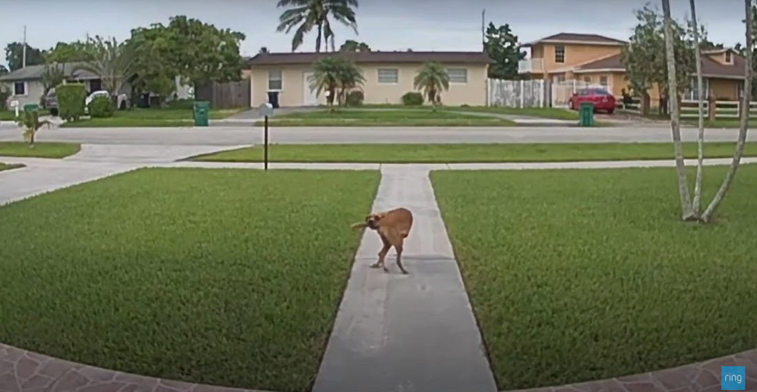 Doorbell Cam Captures Dog Trying To Walk Itself By Biting Its Tail