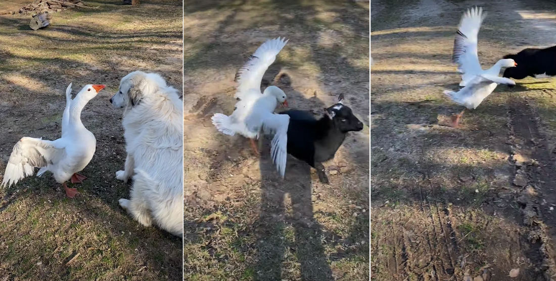 BFFs: Goose Protects Dog Friend From Goat