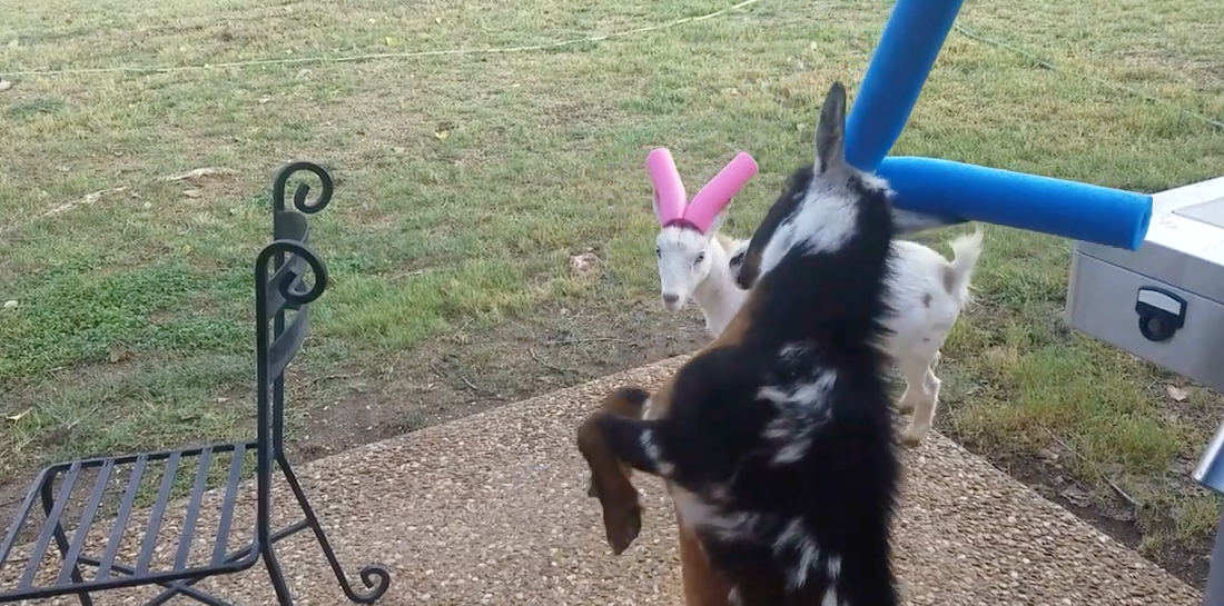 Two Young Goats Do Battle With Pool Noodled Horns