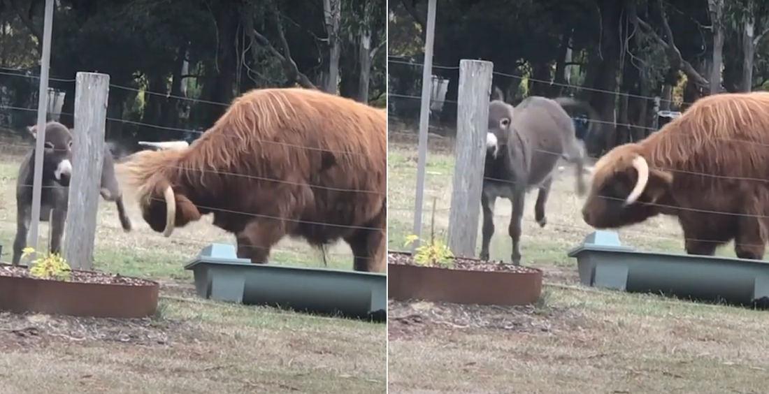Donkey Donkey-Kicks At Steer To Keep It Away From Its Food