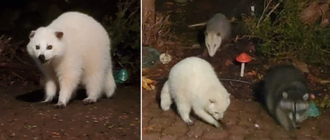 Leucistic Nearly All-White Raccoon Spotted In Oregon