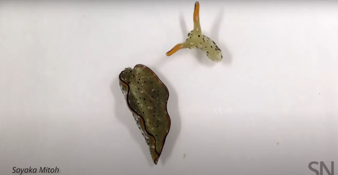 Video Of Sea Slug Head Crawling After Self-Decapitation To Rid Itself Of Parasites