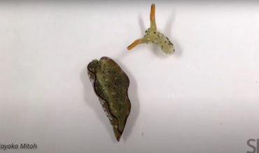 Video Of Sea Slug Head Crawling After Self-Decapitation To Rid Itself Of Parasites