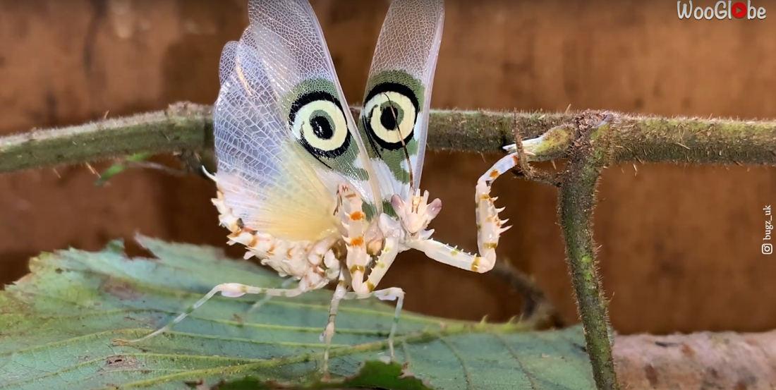 Target Mantis Performs 7-Minute Defensive Dance