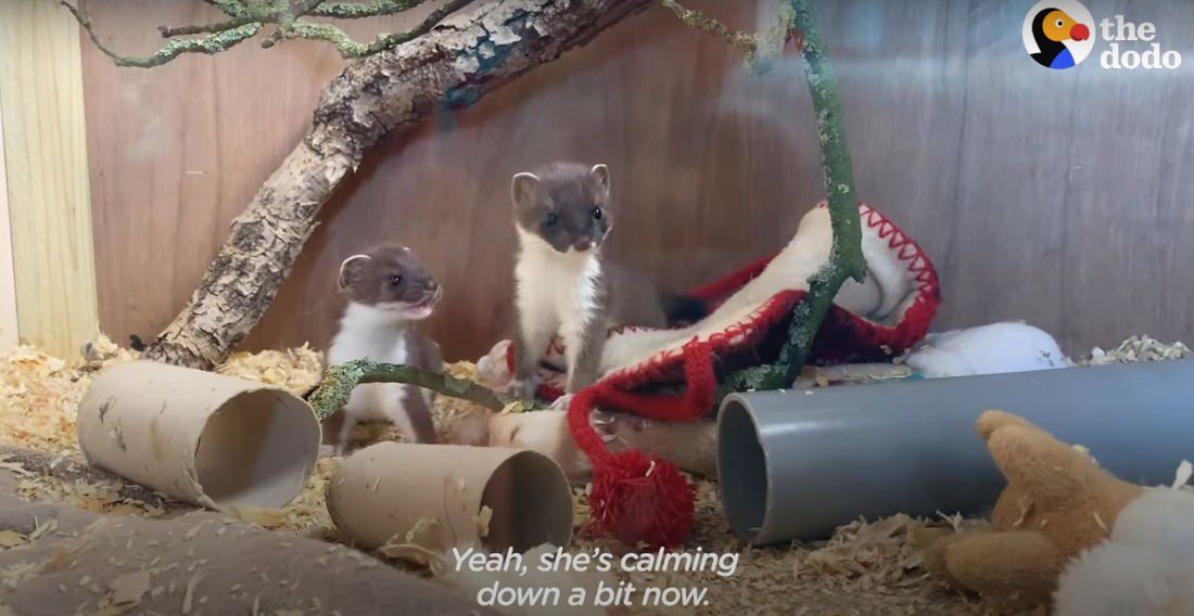 Process Of Orphaned Baby Stoat Transitioning To Rerelease In Wild