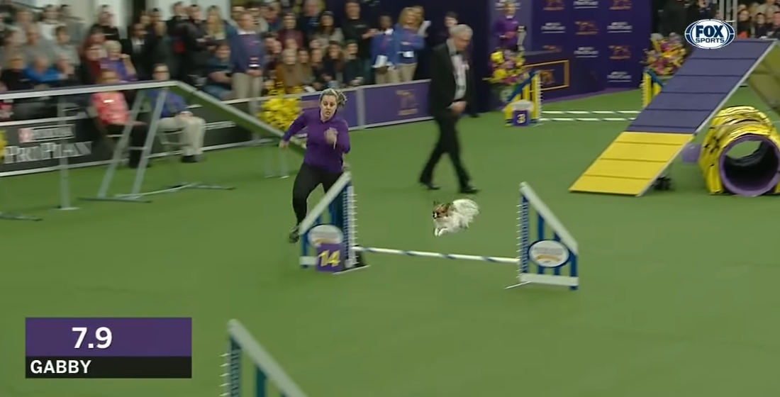 Video Of Tiny Dog Absolutely Tearing Through Agility Course