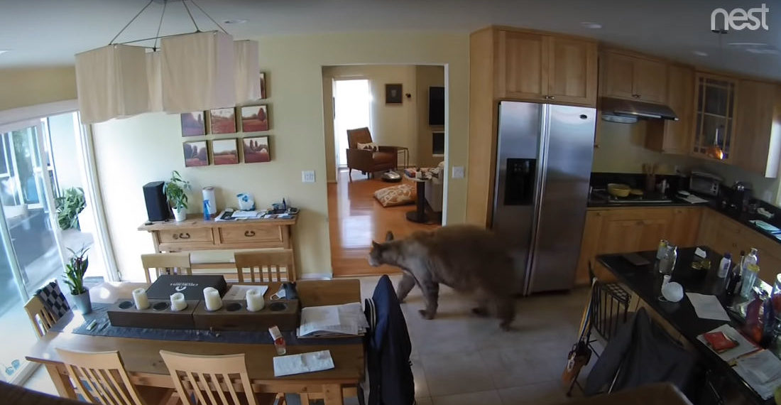 Two Little Dogs Chase Bear Out Of California Home