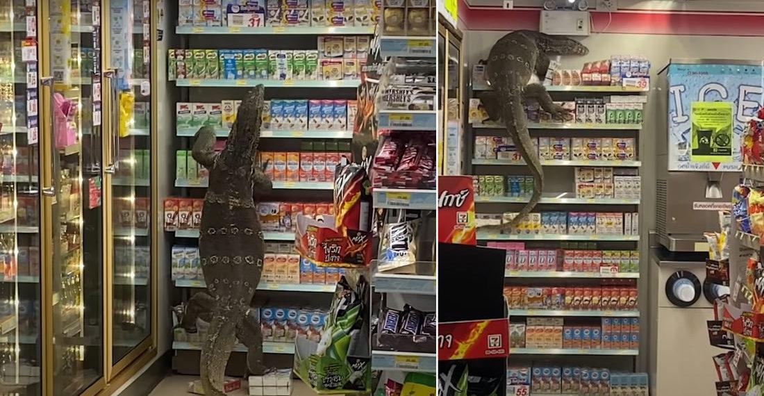 Giant Monitor Lizard Climbing Shelf In Thailand 7-11