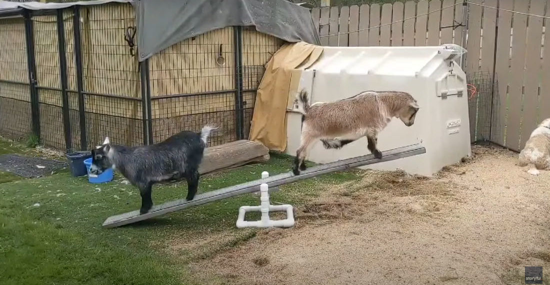 Goats Learn To Balance On See-Saw While Woman Laughs Hysterically