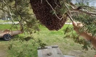Professional Beekeeper Attempts To Catch Entire Bee Swarm On The Top Of His Truck