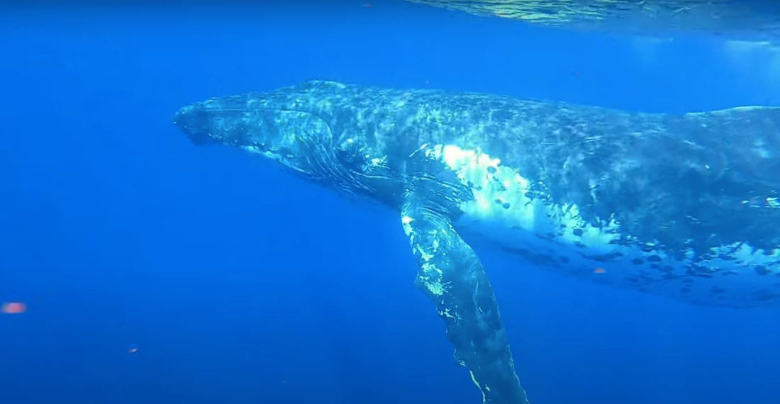 Humpback Whale Sings His Heart Out Trying To Attract Mate