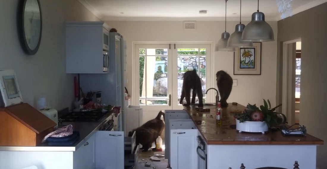 Valuable Info: How To Rid Your House Of A Baboon Infestation