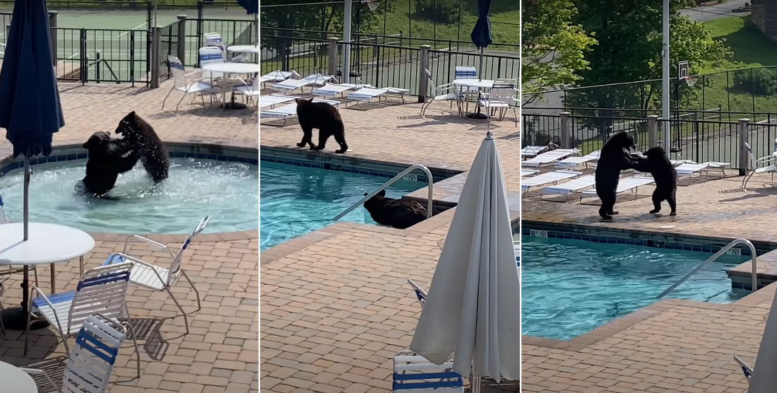 Cannonball!: Bears Throw Pool Party