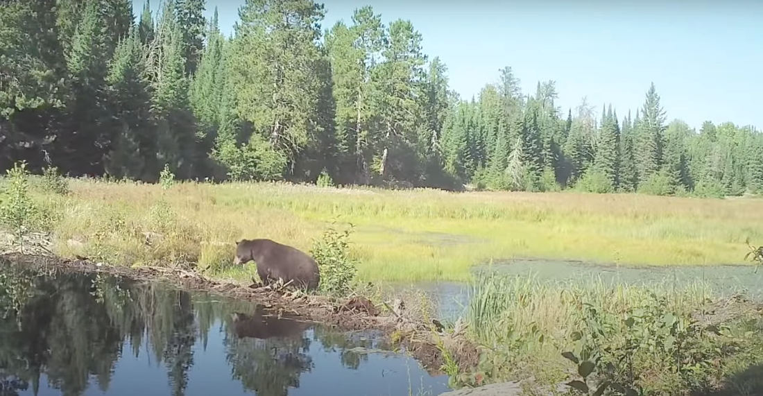 Compilation Of Wildlife Crossing A Beaver Dam Over 8 Month Period
