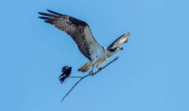 Shot Of Bird Catching A Ride On An Airborne Branch Being Carried By Larger Bird