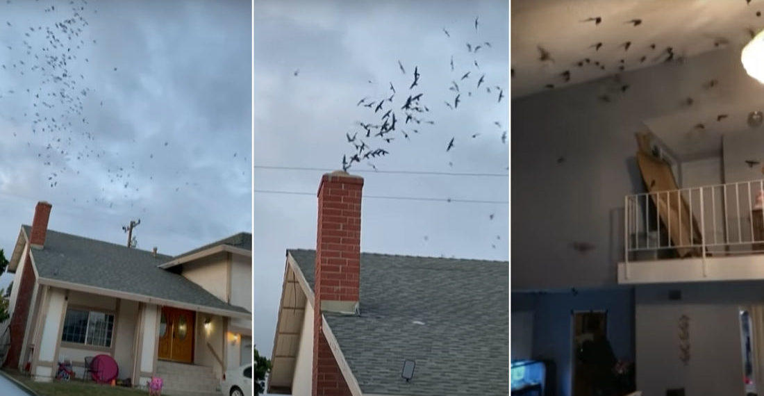 1,500 Birds Invade Home Through Chimney
