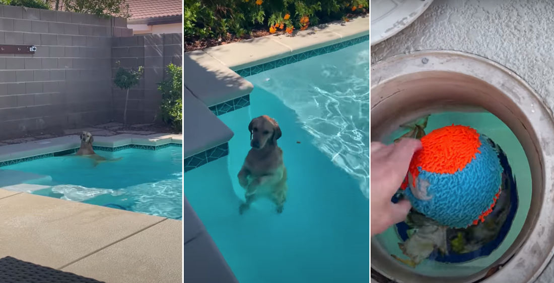 Golden Retriever Lets Owner Know Its Ball Is Stuck In Pool Skimmer