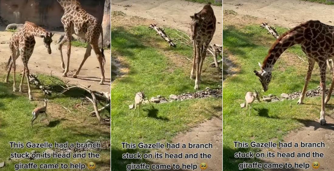 Awww: Giraffe Removes Branch Stuck On Gazelle's Head