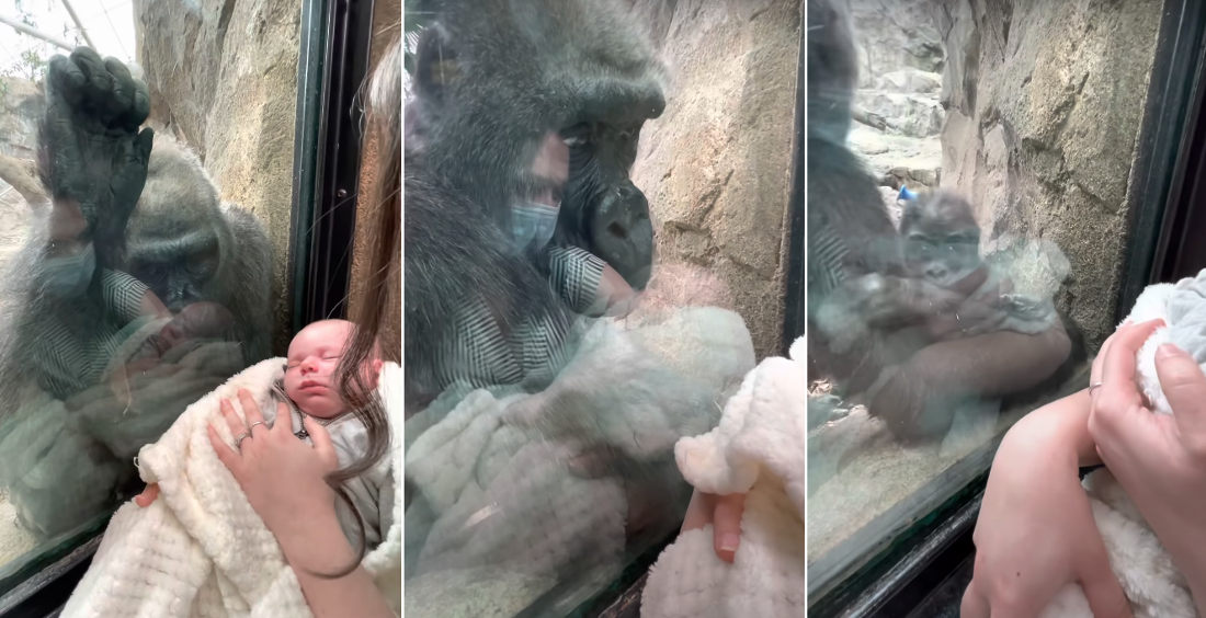 Awww: Recent Gorilla Mother Reacts To Human Mother With Newborn