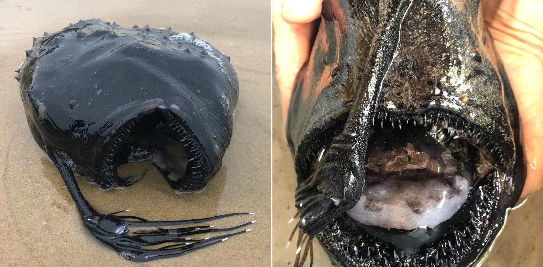 Deep Sea Footballfish Washes Up Intact On California Beach