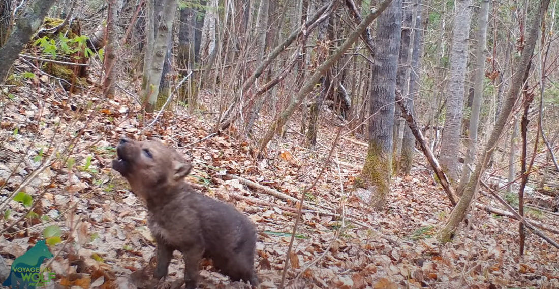 Wild Wolf Pup Attempts First Howling