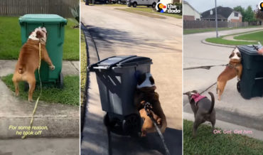 Bulldog Tackles Every Trash Can He Sees