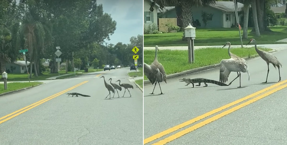 See You Later: Alligator Crosses Street Trying To Escape Group Of Cranes
