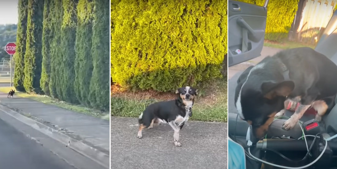 Busted!: Dog Gets Caught, Feels Ashamed For Running Away