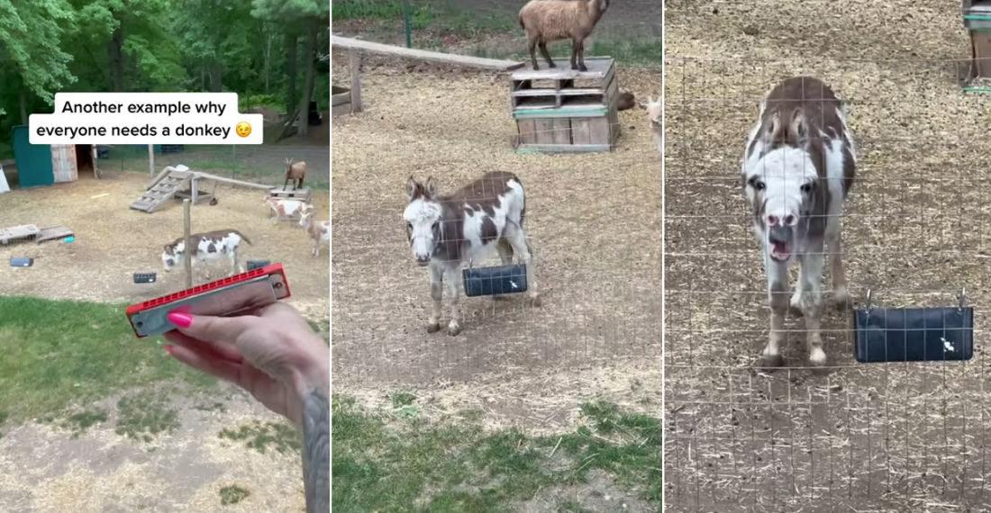 Donkey Sings To Caretaker Playing Harmonica