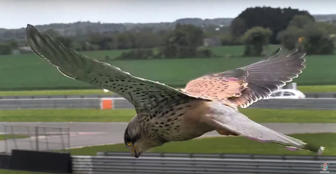 Whoa: Closeup Video Of Falcon Hovering In Flight With Head Perfectly Motionless
