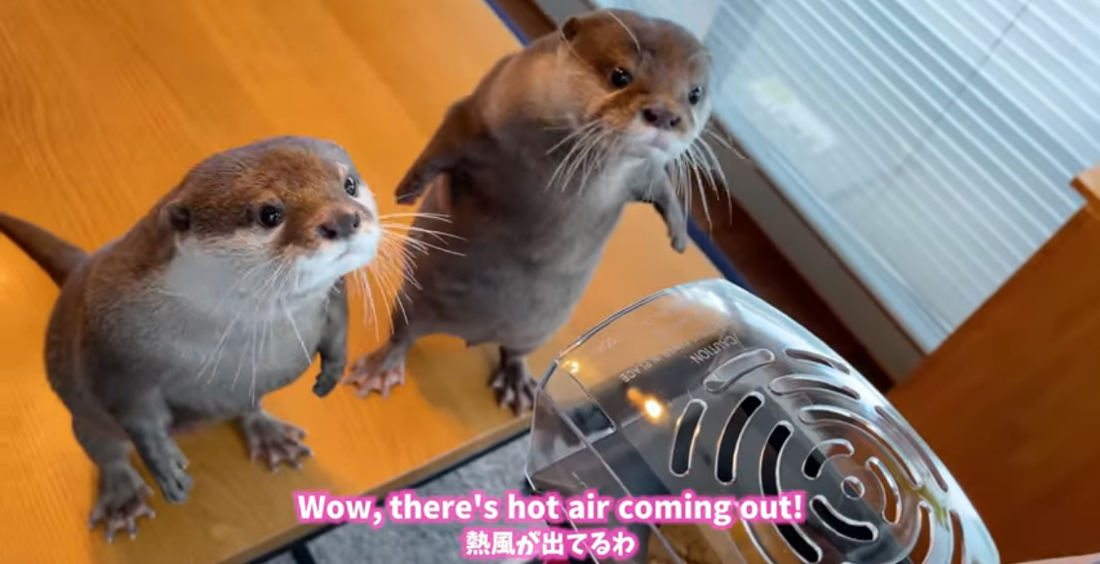 Two Otters React To A Hot-Air Popcorn Popper