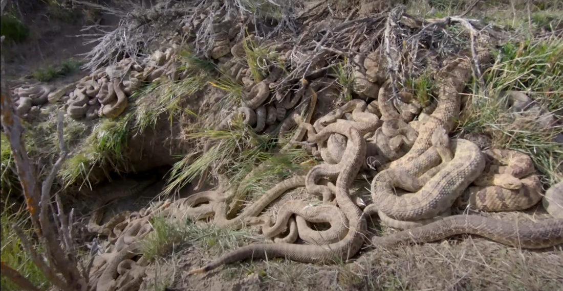 Video Of A Rattlesnake 'Mega Den' In Montana