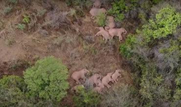 Awww: Drone Footage Of  Sleeping Elephant Herd