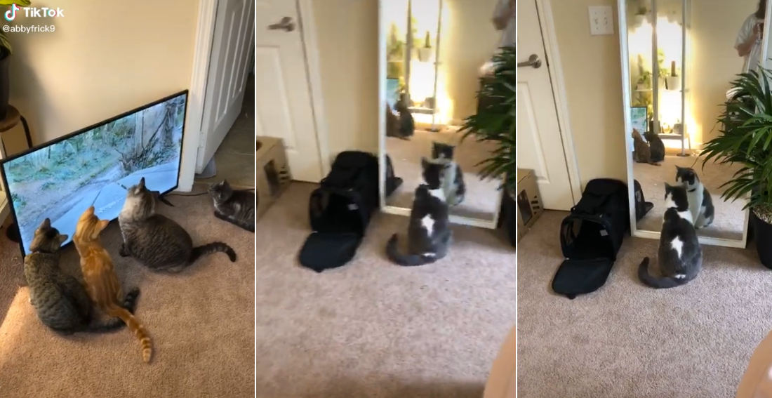 Four Cats Watch TV While One Stares In Mirror
