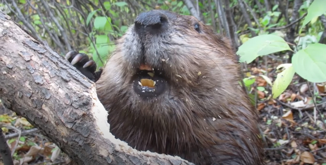 Closeup Of A Beaver Chewing Through A Tree: So That's How They Do It