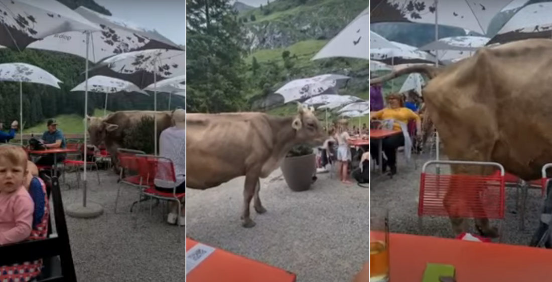 Dinner And A Show: Grazing Cow Casually Pees On Restaurant's Dining Patio