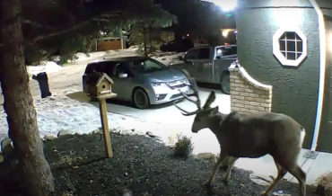 Nothing To See Here: Deer Sheds Antler On Home Security Cam